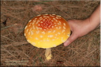 Amanita muscaria guessowii  2695