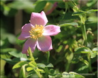 Rosa palustris  5296